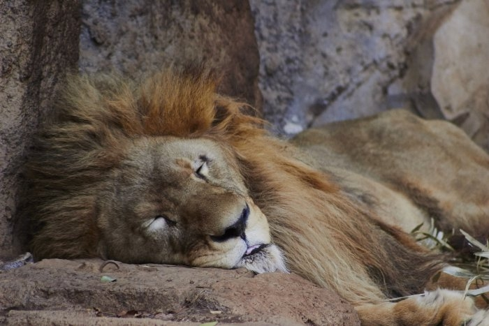 Picture: The Lion Sleeps Tonight by Lawrence Harman, licence CC BY-ND 2.0