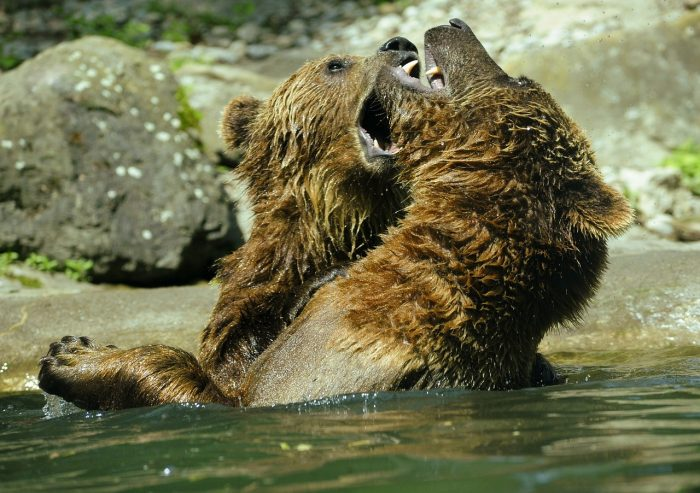 Picture: Bear, Brown Bear by hslergr1, license CC0