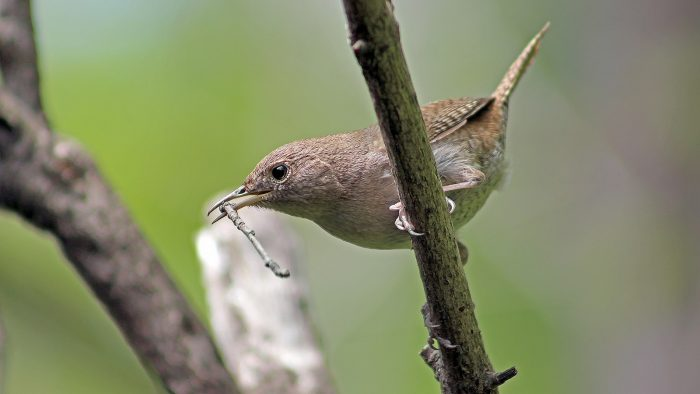 A house wren building a nest by Tibor Nagy, licence CC BY-NC 2.0