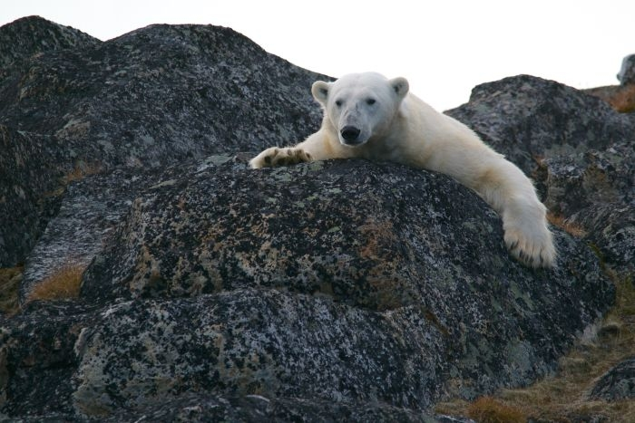 Picture: Polar bear by Andy Brunner, license CC0 1.0